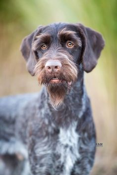 German Wirehaired Pointer. By K&M Photo.