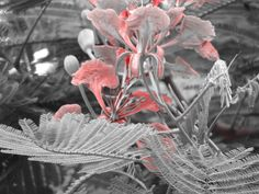 Kolkata Red Effect With Black & White