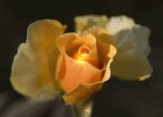 Rose Flower GIF - Rose Flower Yellow - Discover & Share GIFs