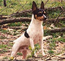 The Toy Fox Terrier isn't a suitable companion for all children. While a sturdy tiny dog, they can't tolerate excessive rough handling, especially as they are prone to broken legs. All Dogs, I Love Dogs, Dogs And Puppies, Doggies, Smooth Fox Terriers, Toy Fox Terriers, Toy Dog Breeds, Small Dog Breeds, Small Breed