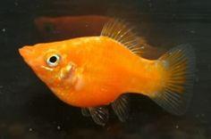 1000 images about fish i have on pinterest aquarium for Petsmart fish guarantee