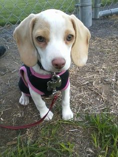 Lemon & white pocket beagle, miniature beagle, toy beagle http://www.pocketbeagleny.com