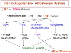 what it is aldosterone? essay Natriuretic peptides play a role in the control of vascular tone and interact with the renin–angiotensin–aldosterone system by inhibiting their degradation,.
