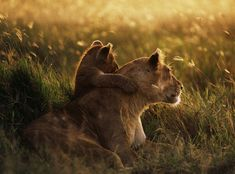 Sunset with mother lion and cub!