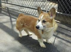 Bandit is an adoptable Welsh Corgi Dog in Barrington, IL. Bandit is an 8-year-old Pembroke Welsh Corgi. He was surrendered to a shelter as nobody is home much anymore. He is supposed to be housebroken...