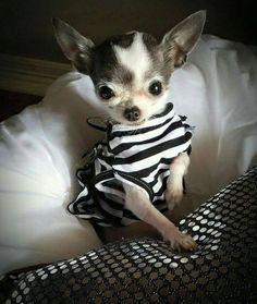 Ahh Chihuahua! !