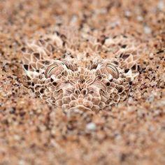 Consegue achar a cobra na imagem? Esta é uma víbora do deserto da Namíbia, que se esconde embaixo da areia. As suas escamas tem um tom de cor muito parecido com o terreno, fazendo com que elas fiquem camufladas no ambiente desértico em que elas vivem.  A camuflagem é uma adaptação que alguns animais exibem que dificulta o risco de detecção. Esta estratégia é útil tanto para se proteger de predadores, como para não ser detectado por potenciais presas. #BiologiaTotal #ProfJubilut #Camuflagem…
