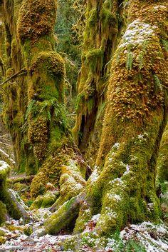 Mossy Trees, Hoh Rainforest, Olympic National Park, Washington state