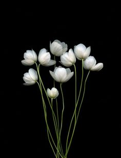 Anemone canadensis ranunculus / carrie / wishwishwish Easter Ikebana, the traditional Japanese art of flower arrangement Pattern flowers Flowers Nature, My Flower, White Flowers, Beautiful Flowers, White Anemone, Anemone Flower, White Tulips, Beautiful Gorgeous, Deco Floral