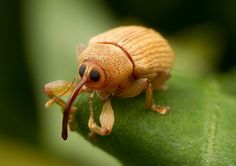 Curculio is a genus of weevils belonging the family Curculionidae and subfamily Curculioninae. Members of the genus are commonly referred to as acorn weevils or nut weevils, Reptiles, Mammals, Cool Insects, Bugs And Insects, Regard Animal, Cool Bugs, Little Acorns, Beautiful Bugs, Little Critter
