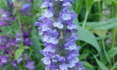 Nepeta Nervosa 'Blue Moon', Catmint 'Blue Moon', Dwarf Catmint, Dwarf Nepeta, Best perennial plants, long flowering perennials