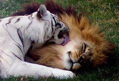 León y tigresa han seguido unidos después de haberlos rescatado de un Zoológico. Cameron es un león, y Zabu, una hembra de tigre blanco.