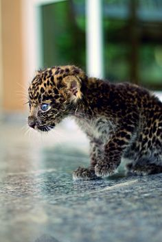 baby jaguar - looks pretty timid