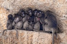 Baboons - Attachment, the cold, the need for protection or tight space - all this makes living things come together, close to each other. To be closer to each other - sometimes it's very important.