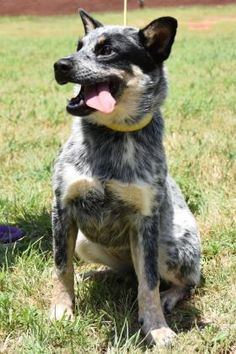 Meet Liz, a Petfinder adoptable Australian Cattle Dog (Blue Heeler) Dog | Norman, OK | Petfinder.com is the world's largest database of adoptable pets and pet care information....