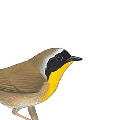 Common Yellowthroat, male. Painted and © by David Sibley