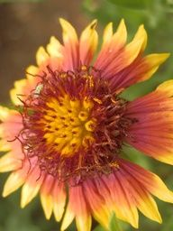 Texas Wildflower - Indian Blanket Came across this flower in Pedernales Falls State Park.