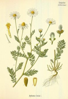 Plate name Mayweed Chamomile Catalog # Image size inches Paper size inches Finish Matte The listing is for one unframed giclee print of the beautiful vintage botanical illustration published by Hermann A. Kohler in The image was digitally cleaned, Botanical Tattoo, Botanical Drawings, Botanical Art, Nature Illustration, Botanisches Tattoo, Tattoo Cover, Vintage Botanical Prints, Vintage Art, Homemade Cosmetics