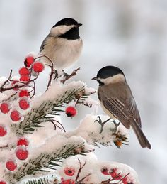 Backyard Birds: Marvel at Chickadees This Winter These North American natives flock to bird feeders and entertain with their complex birdcalls.