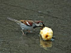 Pardal    House sparrow | Endless Wildlife