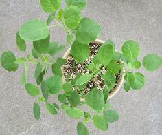 How to grow #herbs - Papalo.