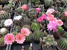 foto8.jpg - Die Echinopsen blühen.