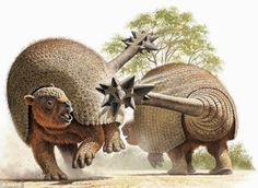 Doedicurus was a relative of the modern armadillo with two exceptions. One, it was five feet tall and two, had a spiked tail club used for inter-species competition. Doedicurus lived until the end of the Pleistocene 11,000 years ago