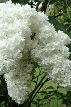 Beautiful White Lilac via Flickr - I LOVE all shades of lilac and can smell it now from the tree outside my window .. (May 23 2013!)