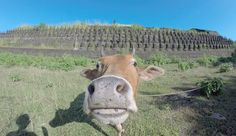 All about Mrauk U in Burma! and how funny is this cow!lol