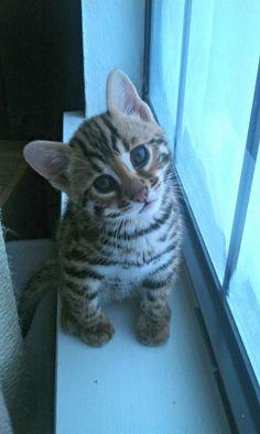 Little bengal kitten. Looks like a little lion. In love!
