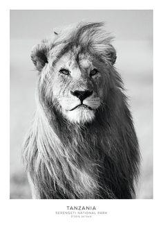 Plakat med løve i svarthvitt. Her uten ramme.