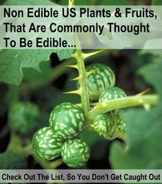 ***NON*** edible US plants and fruits that are commonly thought to be edible. knowledgeweighsnothing.com
