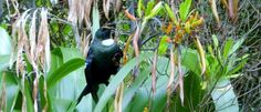 Everything you need to know about our amazing New Zealand Tui Kiwiana, Good News, Need To Know, New Zealand, This Is Us, Amazing, Animals, Animales, Animaux