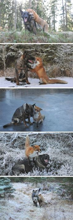 The real Fox and the Hound #Dog #Fox #cute