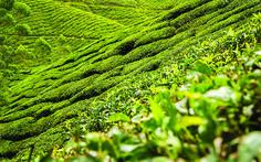 Origin of Tea - History, Influence and Progress