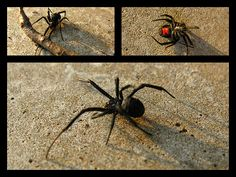 How to Get Rid of Black Widow Spiders. Spiders can be very useful in controlling the populations of harmful insects in your garden. Unfortunately, the bite of a black widow spider can be very painful and even deadly, which makes them a. Keep Spiders Away, Get Rid Of Spiders, Bug Control, Pest Control, Spider Killer, Rid Of Ants, Black Widow Spider, Black House Spider, Insects