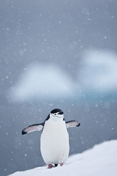 Chinstrap Penguin on Half Moon Island in the South Shetlands, Antarctica