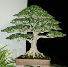 Wondering How Bonsai Trees Are Made? Closed Terrarium Plants, Orchid Terrarium, Hanging Terrarium, Air Plant Terrarium, Terrarium Ideas, Bonsai Plants, Bonsai Garden, Bonsai Trees, Orchid Plants
