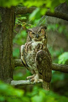 Great Horned Owl by Steve Gilchrist