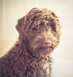 Australian Labradoodle. This dog looks like the grandsons'dog, except half the size.
