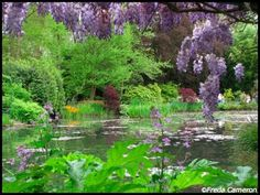 Wisteria in Monet's Water Garden, Giverny, France in May