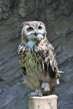 本日(2014/9/23)は動物慰霊祭。当園で、2013年9月から2014年8月までの1年間に死亡した動物たちを慰霊します。13:30に正門前広場から開始です。 写真は、2013年9月10日に死亡した、ワシミミズクのザーリャです。 pic.twitter.com/pXd0H2iEfo