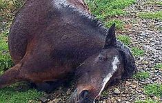 A North African Muslim, an illegal immigrant living in Spain , killed a horse by anally raping him with a wooden handle.  The Guardia Civil...
