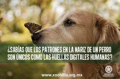 Sabías que los patrones de la nariz de un perro son únicos como las huellas digitales humanas.