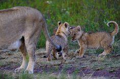 Gondwana lion pride 2018 by Brenda Li