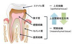 エナメル質は、歯の最外層にある人体で最も固い組織。骨や軟骨といった硬組織とは異なり、皮膚の上皮細胞や毛、爪と同じく「歯原性間葉細胞」と呼ばれる上皮細胞によって形成されているのが特徴。   実験では、歯原性間葉細胞に発現するタンパク質の一種「エピプロフィン」が全身に発現するよう、実験用マウスの遺伝子を操作した。すると通常のマウスではみられない場所にエナメル質が形成されたほか、歯のかみ合わせや形にも異常が認められた。研究チームによれば、エピプロフィンは歯の発生過程で細胞増殖因子「FGF9」「SHH」の発現を誘引し、歯原性間葉細胞の増殖を促進させていることが明らかになったという。