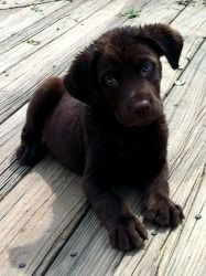Stitch is an adoptable Chocolate Labrador Retriever Dog in Taylorsville, KY. This amazing boy is up for adoption with LET THEM LIVE RESCUE here in Taylorsville, KY. Stitch is a 9 week old Chocolate La...