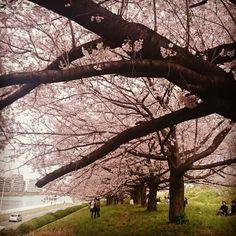 戸田公園 桜満開2016