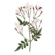 jasmine plant drawing - Google Search