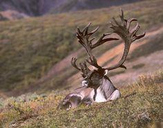 Alaskan Barren Ground Caribou. In Alaska
